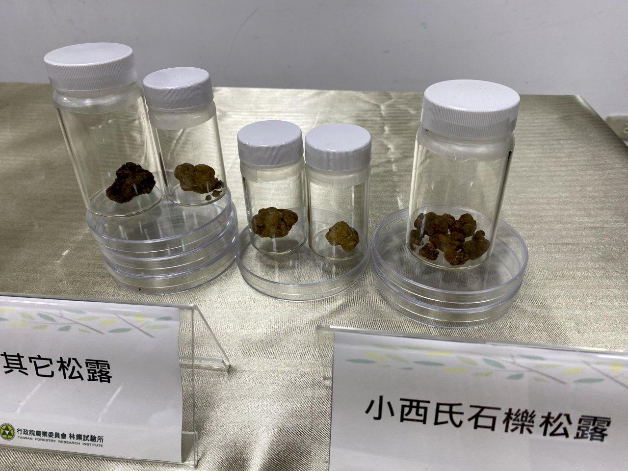 又挖出台灣原生種白松露 「餐桌上的鑽石」8年內量產不是夢(影音)