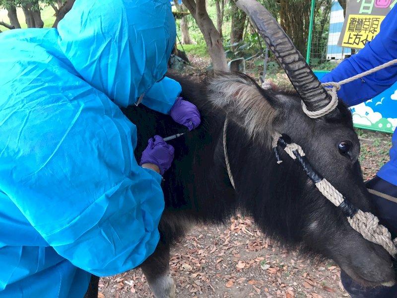 台採購18萬劑牛結節疹疫苗 22日抵台