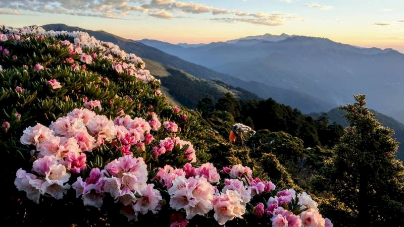 合歡山杜鵑花近日盛開,花期預計持續至6月。圖為21日清晨合歡東峰半山腰花況。(曾沛堯提供) (圖:中央社)