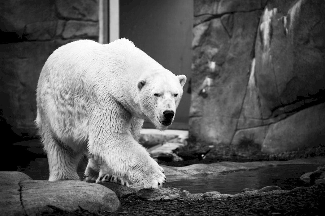 北極熊的悲慘世界 不是失去棲地 而是被殘忍的人類逼瘋