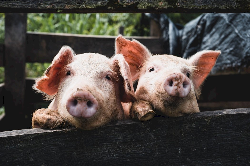 從未終結的苦難》吳祚來自述25 豬哇、羊呀送到哪裡去?
