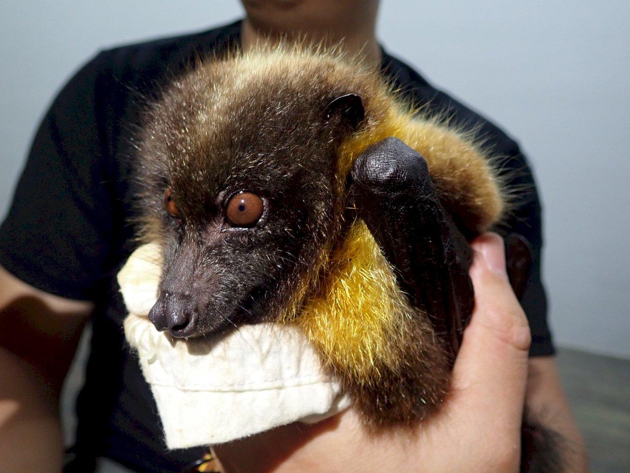 狐蝠研究/台灣估剩200隻 日本折居氏保育佳有近萬隻