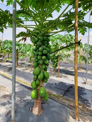 台灣木瓜種子外銷全球第一 新品種登場更耐儲運