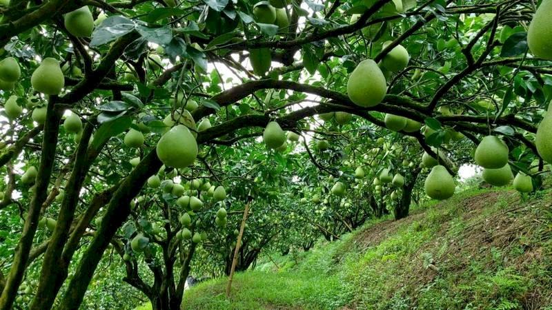 柚子飄香你懂得挑嗎? 皮越皺越香甜