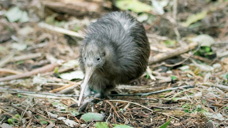 復育有成 紐西蘭奇異鳥回歸北地大區