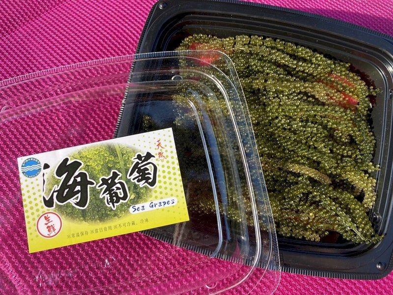 綠色魚子醬養殖成功 金門水試所海葡萄上市