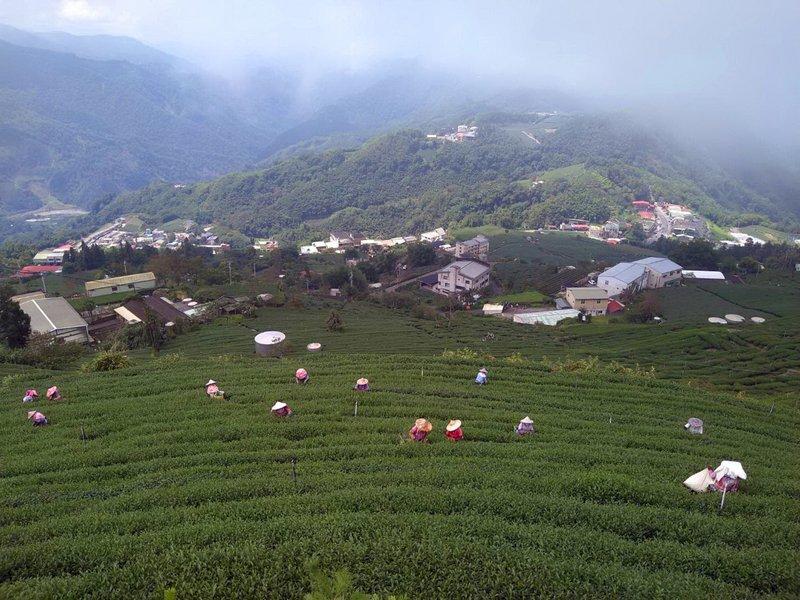 阿里山茶採製生力軍 越南新住民扮重要幫手