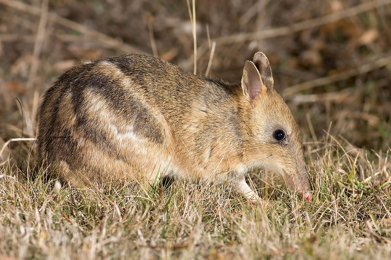 澳洲本島加氏袋狸險些滅絕 30年成功復育逾千隻