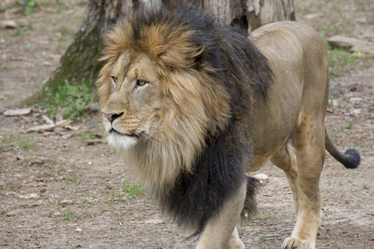 華府動物園6獅3虎確診 遊客無感染風險
