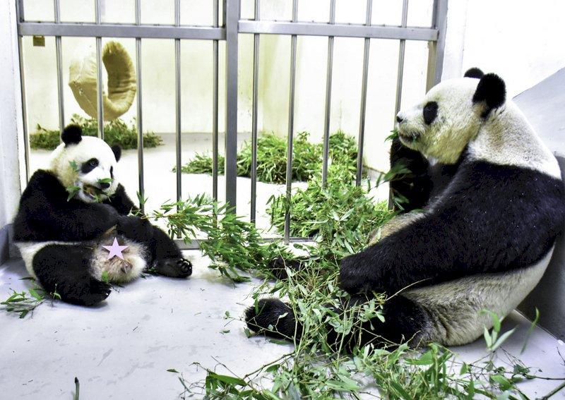 大貓熊「圓寶」食性轉換順利完成!能吃竹葉竹桿了